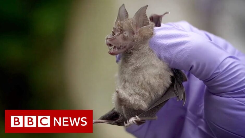 Coronavirus: Looking for viruses in Thai bats – BBC News