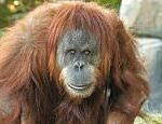 COVID-19 US: Great apes at San Diego Zoo receive vaccine