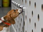 Sniffer dogs detected cases of Covid-19 more than a WEEK before lab swabs