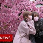 Japanese cherry blossom festival hit by Covid restrictions – BBC News